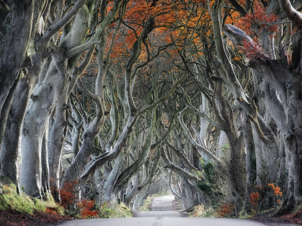 Tree lined road, ancient trees create an archway over road